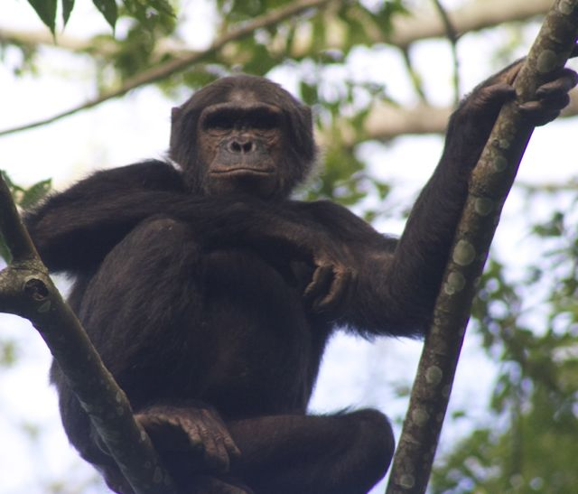 30 year old male chimp in Nyungwe Forest Rwanda