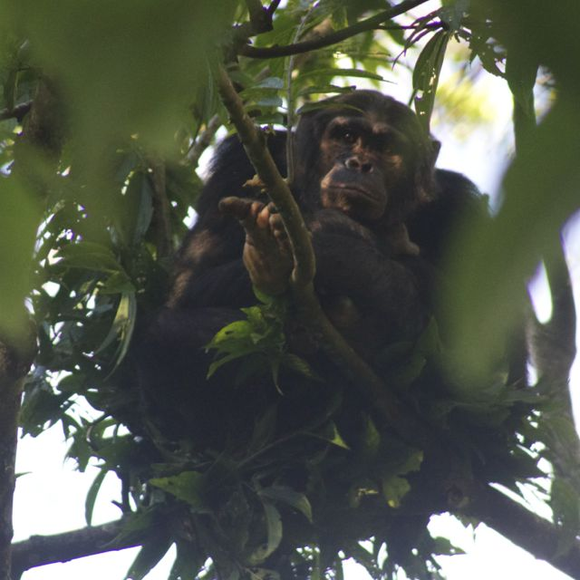 staring contest with a chimp in Nyungwe Forest, Rwanda