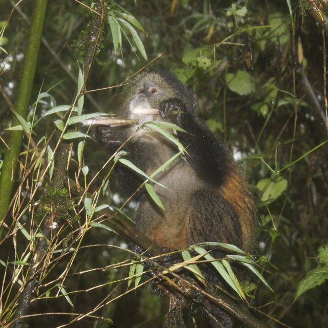Golden monkey eating a bamboo shoot in Volcanos National Park, Rwanda