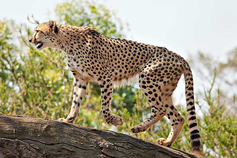 Namibia is home to the world's largest population of cheetahs.