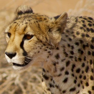 cheetahs in wild26