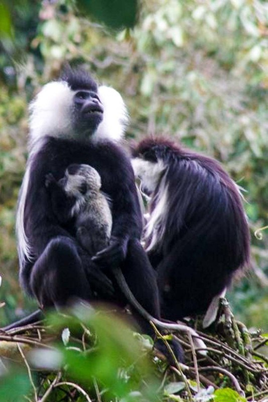 Nyungwe Forest in Rwanda is a great place to observe Colobus monkeys in the wild. The babies are born completely white and both mom and dad play an active role in parenting. Watching them learn to climb is an incredible experience.