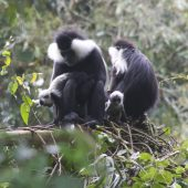 colobus monkeys in rwanda baby12