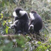 colobus monkeys in rwanda baby12