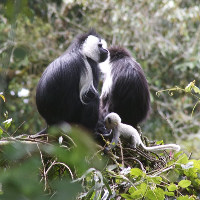 Colobus monkey that is only 1 month old - seen in Nyungwe Forest in Rwanda
