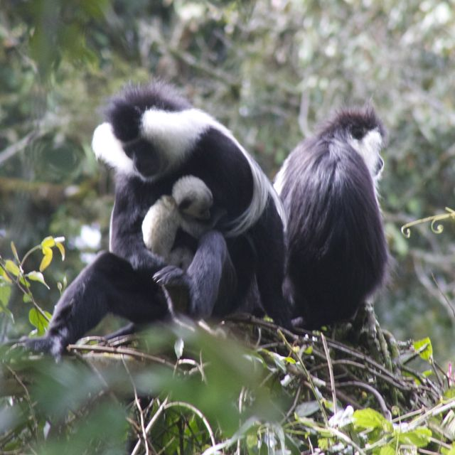 Baby colobus monkey getting a hug from dad in Nyungwe National Park, Rwanda