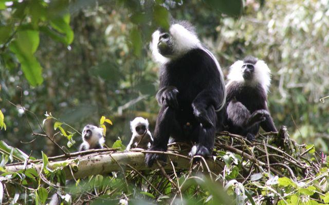 colobus monkeys in rwanda baby20