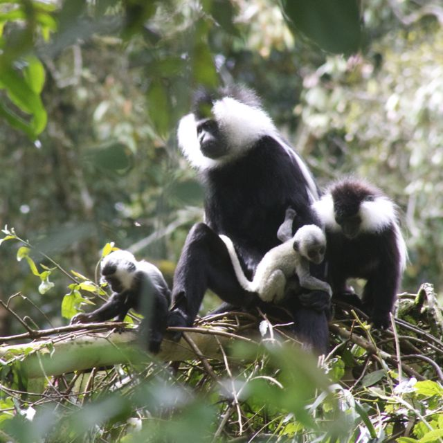 2 colobus baby monkeys staying close to their mom and dad in Nyungwe Forest, Rwanda