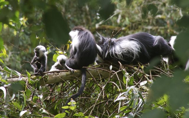 Baby colobus monkeys in Nyungwe National Park, Rwanda