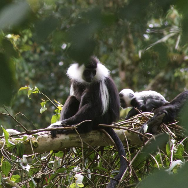 Baby colobus monkey playing hide and seek in Nyungwe Forest, Rwanda