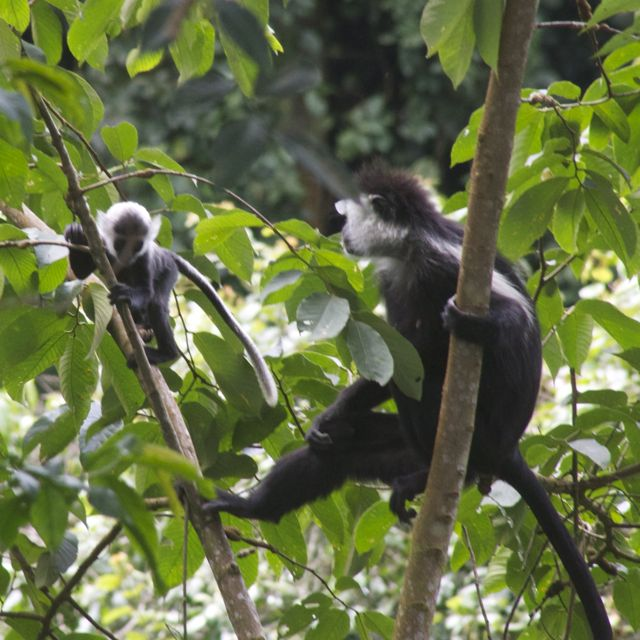 colobus monkey in Rwanda teaching his infant how to jump from tree to tree