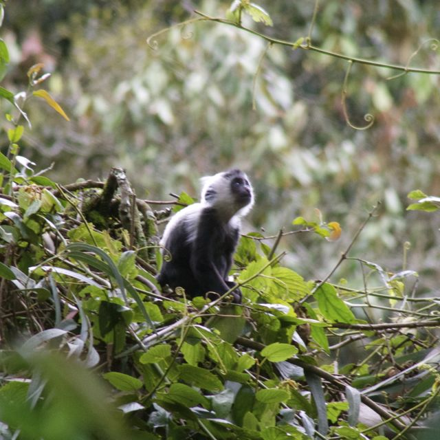 Baby colobus monkey looking up in Nyungwe Forest, Rwanda