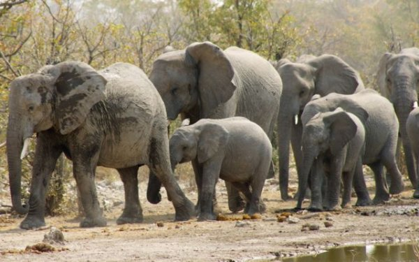 Appearing out from the bush, heading to a water hole.