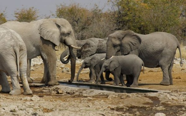 Baby elephants drinking at a water hole, while staying close to their mothers.