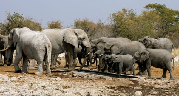 Herd of elephants gathering around a water hole in Etosha.