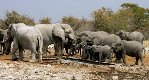 Herd of elephants gathering around a water hole in Etosha.