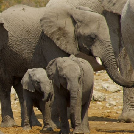 Two young elephant calves.