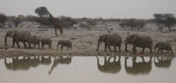 Elephant reflections in a waterhole with a giraffe in the background.