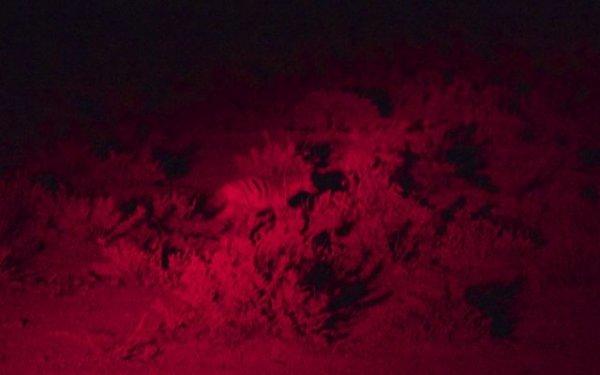 Black backed jackal seen on a night safari drive.