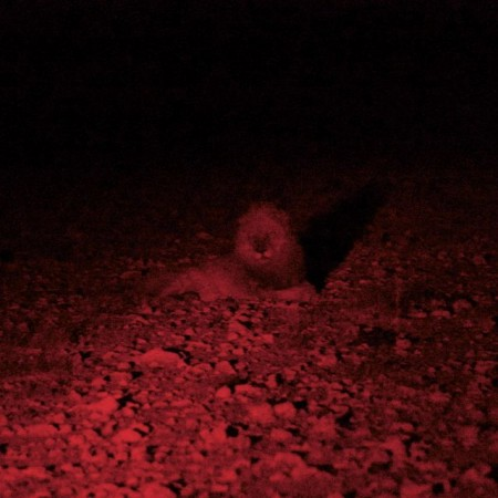 Lion staring back at us on a night safari in Namibia
