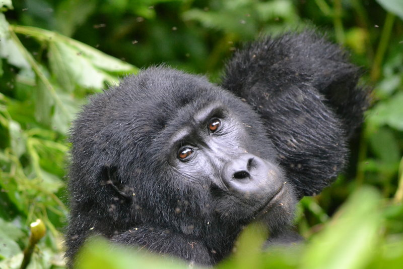 seeing mountain gorillas is an incredible adventure