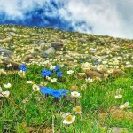 Mountain Wild Flowers of the Jungfrau Region