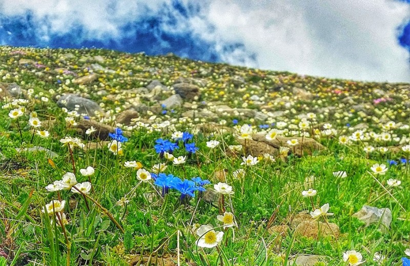 mountain wildflowers cover the hills in the Jungfrau region of Switzerland