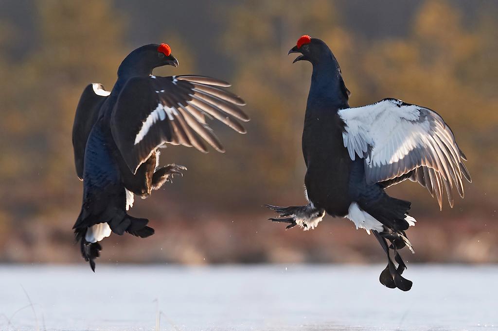 Black grouse. Photo by Jari Peltomäki.