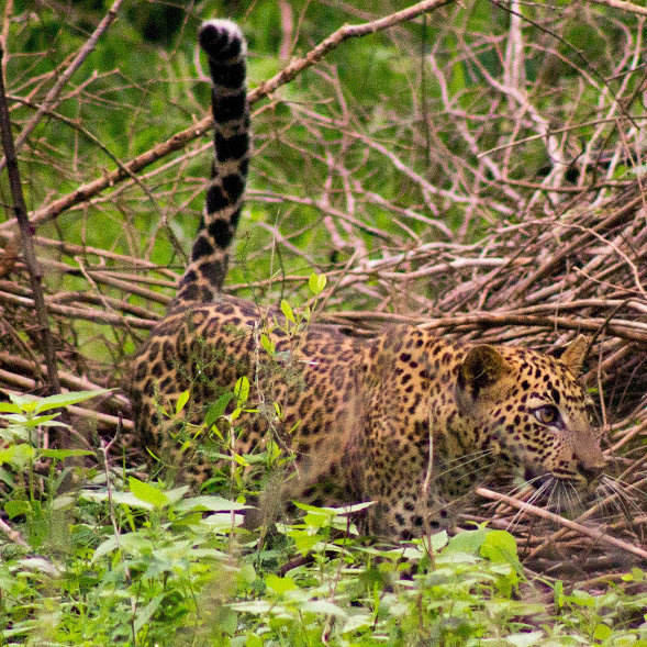 a young leopard cub in Yala