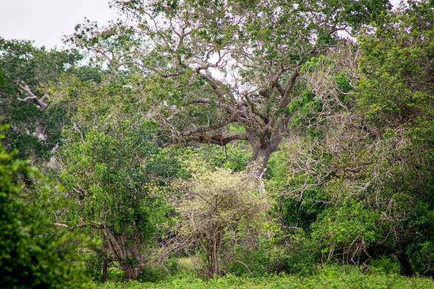 leopard sitting high in tree in Yala