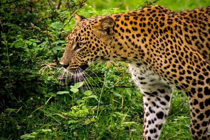 Adventure Travel - Leopard seen at Yala, Sri Lanka