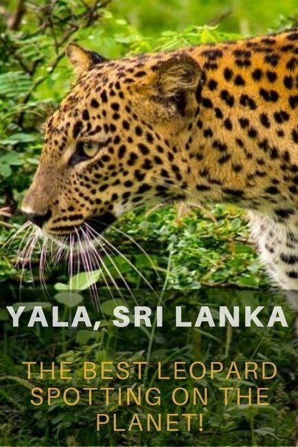 Yala National Park in Sri Lanka is an incredible travel destination for wildlife lovers hoping to spot spot a leopard in the wild.