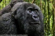 Rwanda is an exceptional place to see wildlife, especially primates like gorillas.