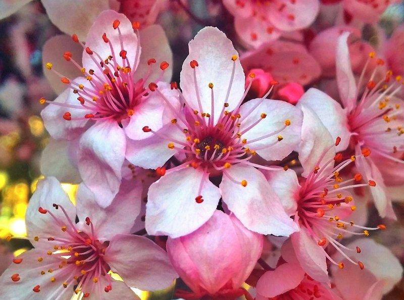 spring fever cherry blossoms