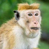 Yala Sri Lanka monkeysSri Lanka wildlife Yala National Park monkeysSri Lanka wildlife Yala National Park monkeysIMG_083971112