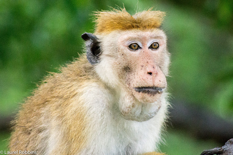 A Toque macaque in Yala Sri Lanka, one of several monkey species found there.