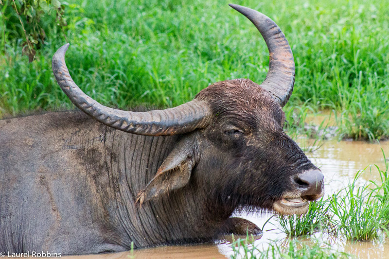 Water buffalo are just one of the wildlife species I had the opportunity to see
