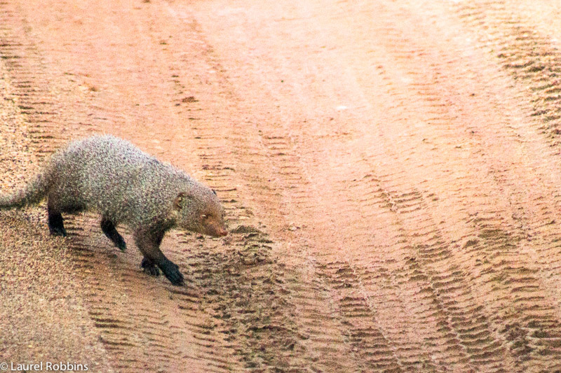 The ruddy mongoose is one of Sri Lanka's and India's endemic wildlife species.