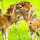Yala Sri Lanka wildlife spotted dear