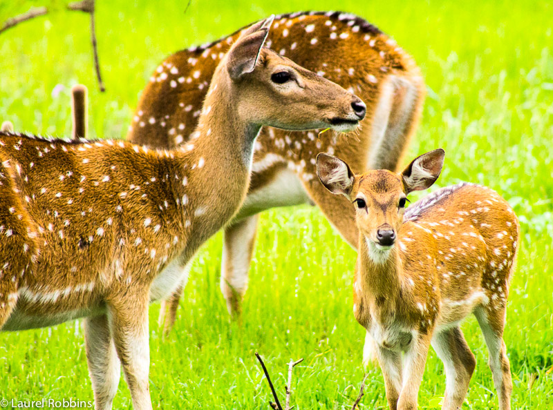 Sri Lankan axis deer is an endemic wildlife species to Sri Lanka. I spotted these ones in Yala.