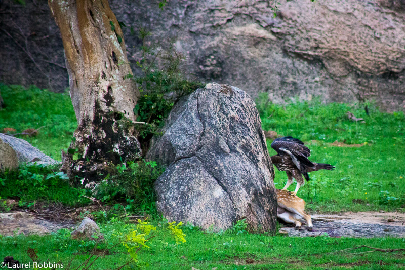 Vulture feeding on a deer carcass in Yala, Sri Lanka.