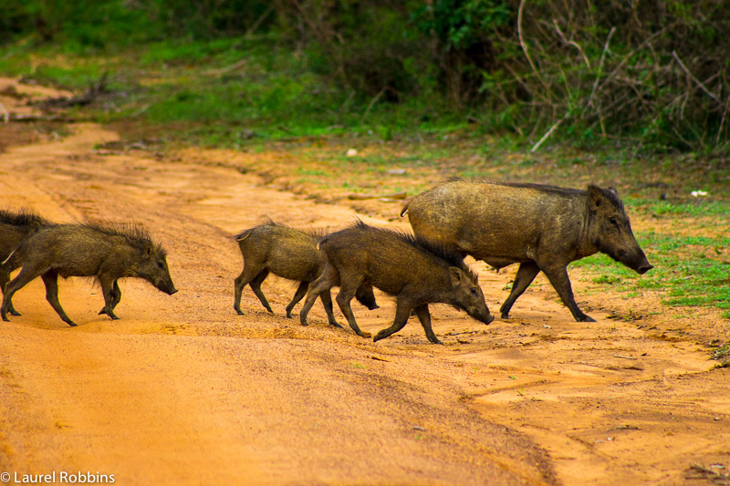 Wild boar crossing a road in Yala, Sri Lanka.