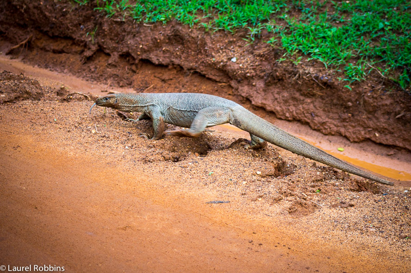 A huge lizard crossing the road in Yala, Sri Lanka.