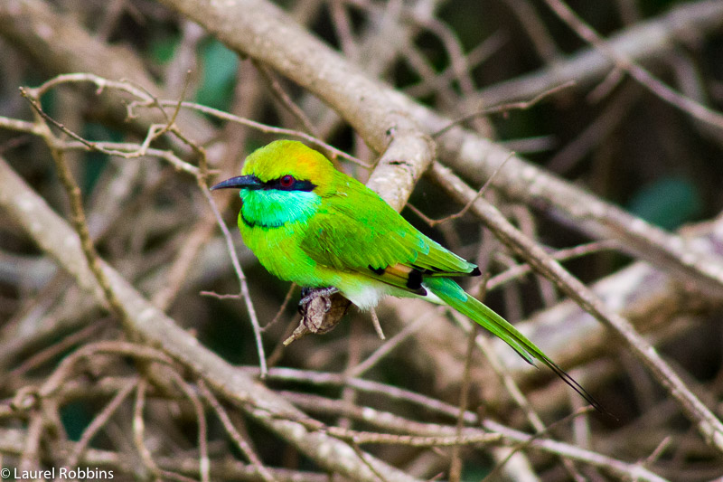 The Green bee-eater is one of the most common birds of Sri Lanka.