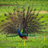 peacocks are a common bird in Sri Lanka