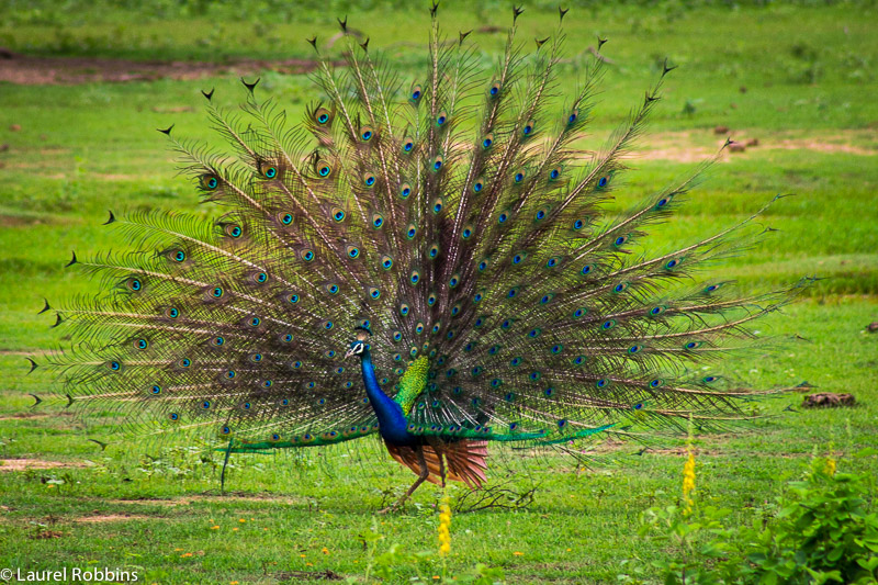 a peacock is a common bird of Sri Lanka
