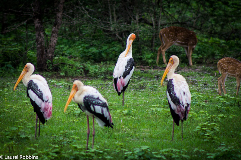 Painted storks are birds found in Sri Lanka and in the tropical wetlands of Asia