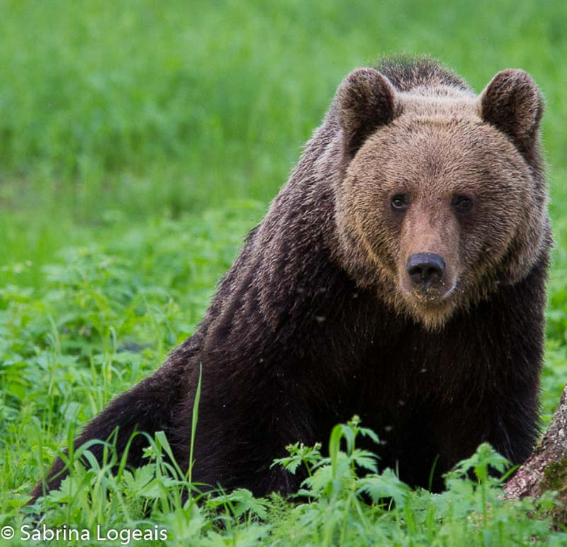 brown bear watching in Finland. The brown bear is also Finland's national animal.
