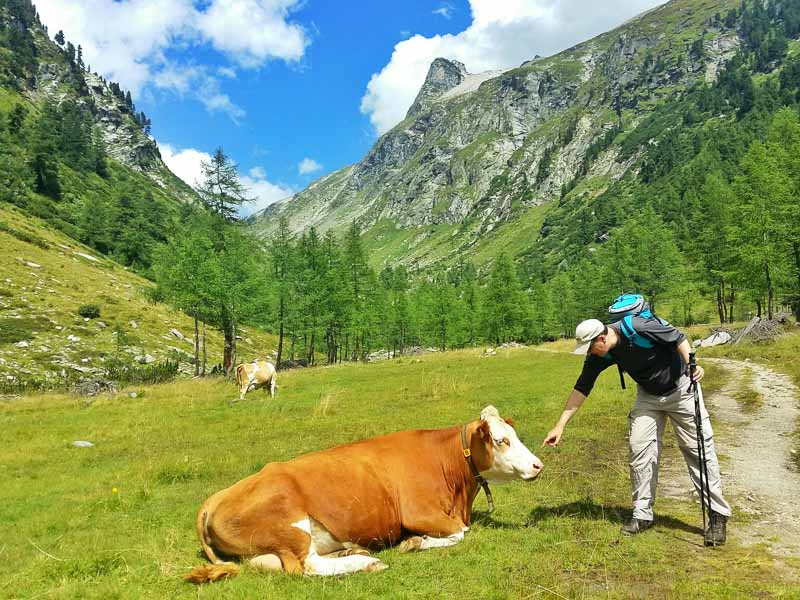 Cows in the Dorfertal Valley in Hohe Tauern Austrian Alps
