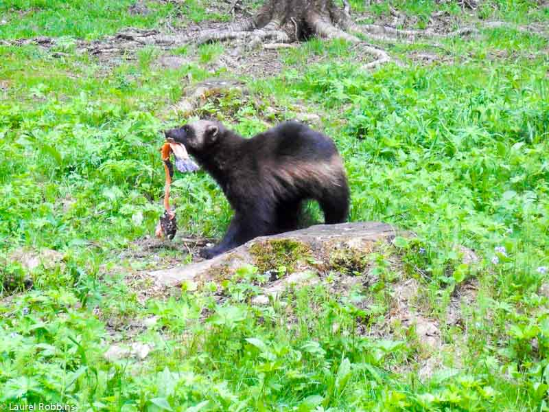 a wolverine grabbing a piece of fish in Lentiira, Finland, before taking it back to the forest and burying it.